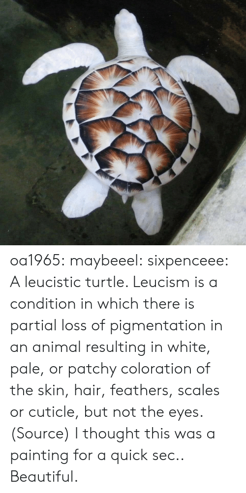 Beautiful, Reddit, and Tumblr: oa1965: maybeeel:  sixpenceee:  Aleucisticturtle. Leucismis a condition in which there is partial loss of pigmentation in an animal resulting in white, pale, or patchy coloration of the skin, hair, feathers, scales or cuticle, but not the eyes. (Source)  I thought this was a painting for a quick sec..   Beautiful.