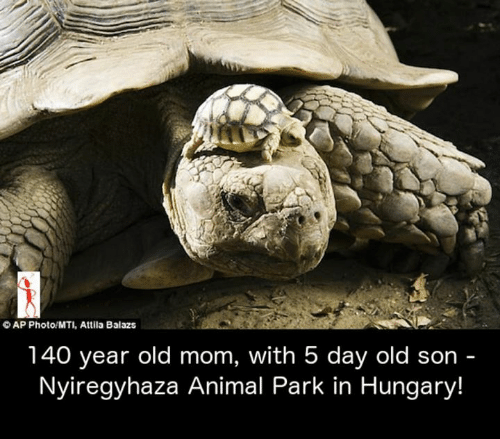 Memes, Animal, and Hungary: OAP Photo/MTI, Attila Balazs  140 year old mom, with 5 day old son -  Nyiregyhaza Animal Park in Hungary!