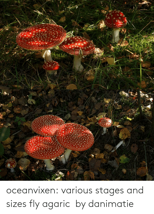 fly: oceanvixen: various stages and sizes fly agaric  by danimatie