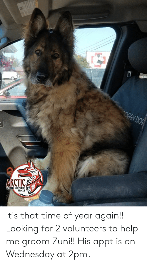 Ash, Doge, and Memes: OGGY DOGE  AКСТIСА  GERMAN SHEPHERD  RESCUE  Faivbanks, ash It's that time of year again!! Looking for 2 volunteers to help me groom Zuni!! His appt is on Wednesday at 2pm.