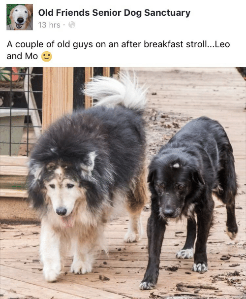 Leos: Old Friends Senior Dog Sanctuary  13 hrs  A couple of old guys on an after breakfast stroll...Leo  and Mo