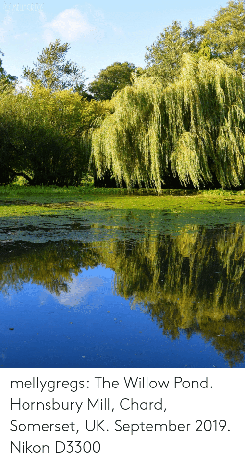 willow: OMELLYGREGS mellygregs: The Willow Pond. Hornsbury Mill, Chard, Somerset, UK. September 2019. Nikon D3300