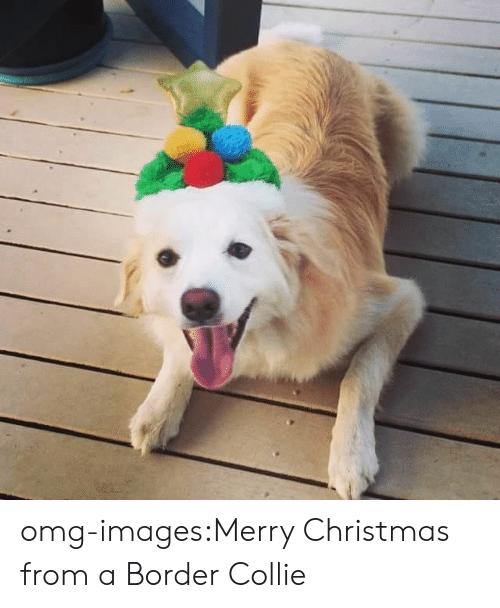 collie: omg-images:Merry Christmas from a Border Collie