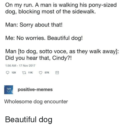 Beautiful, Memes, and Run: On my run. A man is walking his pony-sized  dog, blocking most of the sidewalk.  Man: Sorry about that!  Me: No worries. Beautiful dog!  Man [to dog, sotto voce, as they walk away]:  Did you hear that, Cindy?!  1:56 AM 17 Nov 2017  hapry  positive-memes  Wholesome dog encounter Beautiful dog