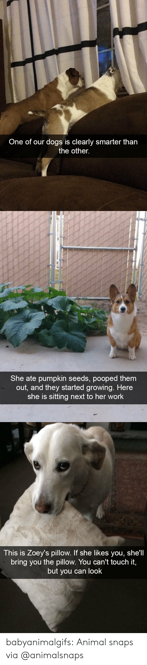 Dogs, Tumblr, and Work: One of our dogs is clearly smarter tharn  the other.   She ate pumpkin seeds, pooped them  out, and they started growing. Here  she is sitting next to her work   This is Zoey's pillow. If she likes you, she'll  bring you the pillow. You can't touch it,  but you can look babyanimalgifs: Animal snaps via @animalsnaps