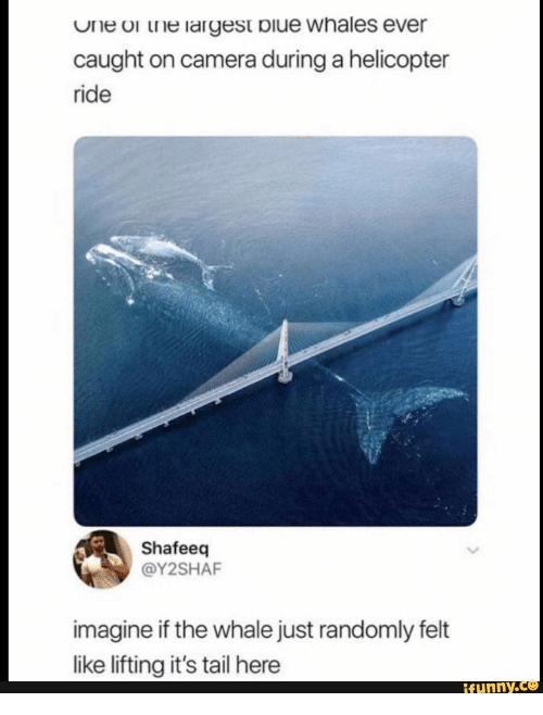 whales: One or the largest biue whales ever  caught on camera during a helicopter  ride  Shafeeq  @Y2SHAF  imagine if the whale just randomly felt  like lifting it's tail here  ifunny.c