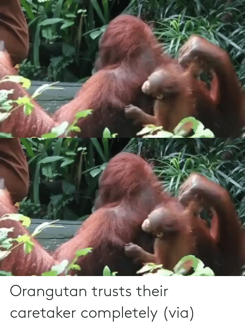 completely: Orangutan trusts their caretaker completely (via)