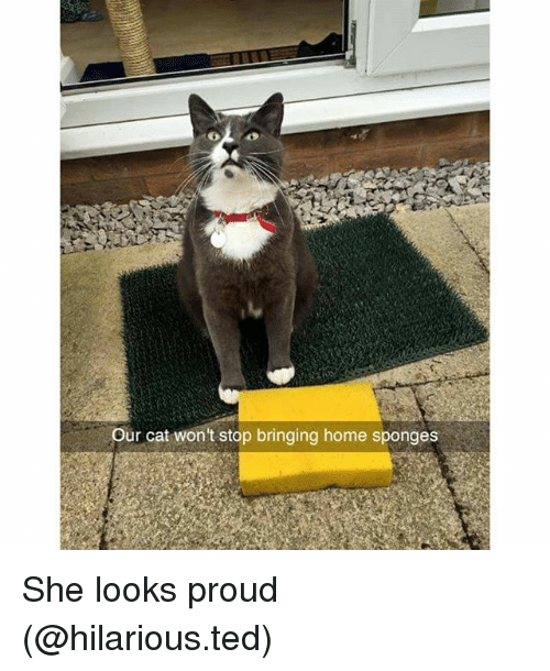 Funny, Ted, and Home: Our cat won't stop bringing home sponges She looks proud (@hilarious.ted)