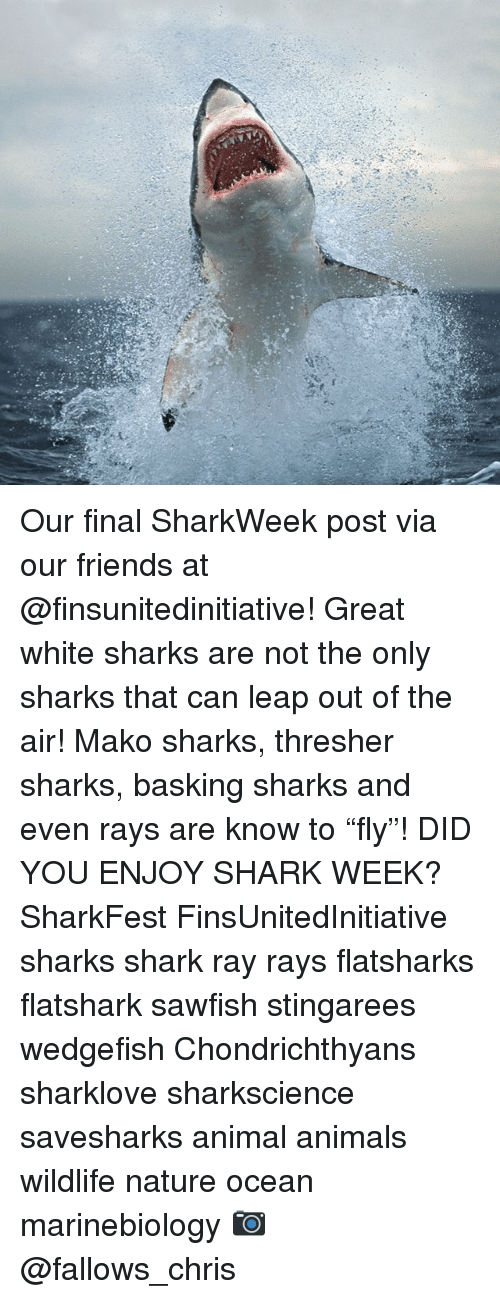 """shark week: Our final SharkWeek post via our friends at @finsunitedinitiative! Great white sharks are not the only sharks that can leap out of the air! Mako sharks, thresher sharks, basking sharks and even rays are know to """"fly""""! DID YOU ENJOY SHARK WEEK? SharkFest FinsUnitedInitiative sharks shark ray rays flatsharks flatshark sawfish stingarees wedgefish Chondrichthyans sharklove sharkscience savesharks animal animals wildlife nature ocean marinebiology 📷 @fallows_chris"""