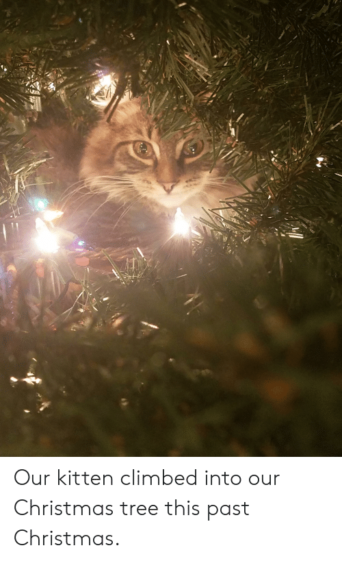 Christmas, Christmas Tree, and Tree: Our kitten climbed into our Christmas tree this past Christmas.