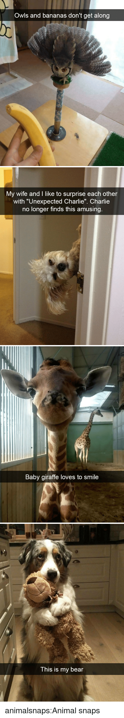 """Charlie, Target, and Tumblr: Owls and bananas don't get along   My wife and I like to surprise each other  with """"Unexpected Charlie"""". Charlie  no longer finds this amusing   Baby giraffe loves to smile   This is my bear animalsnaps:Animal snaps"""