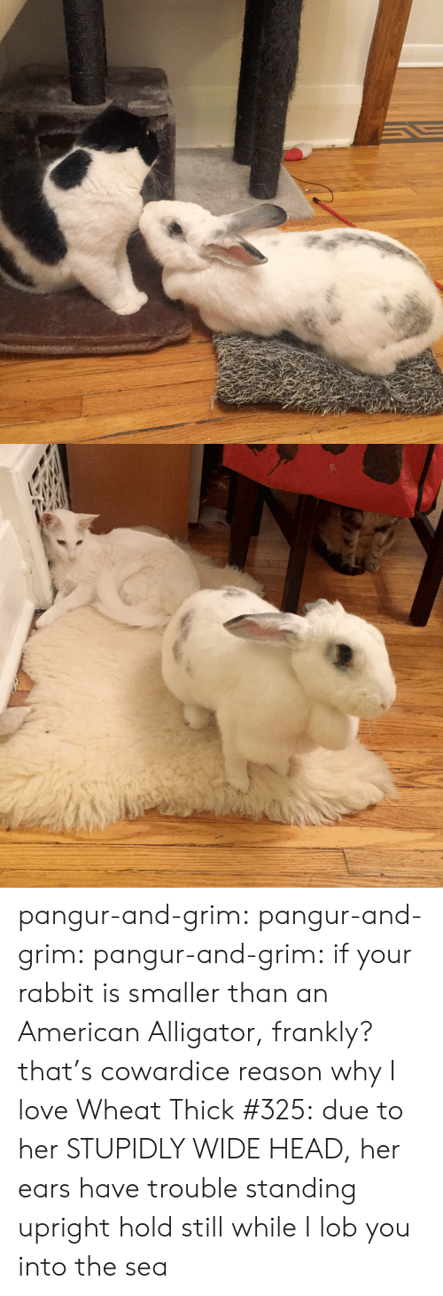 frankly: pangur-and-grim: pangur-and-grim:  pangur-and-grim: if your rabbit is smaller than an American Alligator, frankly? that's cowardice reason why I love Wheat Thick #325: due to her STUPIDLY WIDE HEAD, her ears have trouble standing upright  hold still while I lob you into the sea