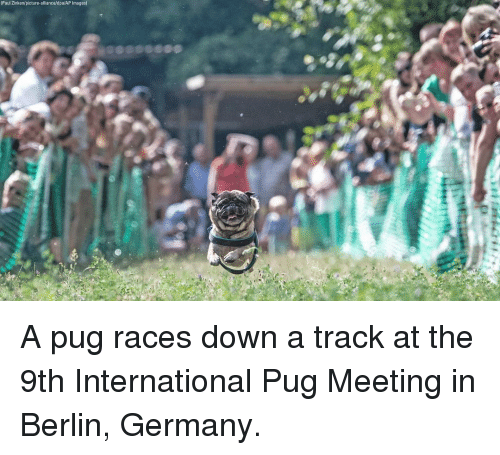 Memes, Germany, and Images: (Paul Zinken/picture-alliance/dpa/AP Images) A pug races down a track at the 9th International Pug Meeting in Berlin, Germany.
