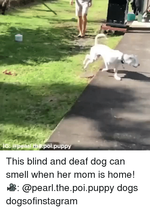 Dogs, Memes, and Smell: pean th poi.puppy This blind and deaf dog can smell when her mom is home! 🎥: @pearl.the.poi.puppy dogs dogsofinstagram