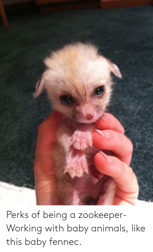 Baby Animals: Perks of being a zookeeper-Working with baby animals, like this baby fennec.
