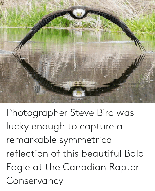 raptor: Photographer Steve Biro was lucky enough to capture a remarkable symmetrical reflection of this beautiful Bald Eagle at the Canadian Raptor Conservancy