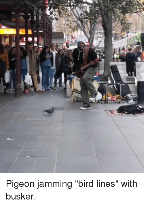 """Dank, 🤖, and Pigeon: Pigeon jamming """"bird lines"""" with busker."""