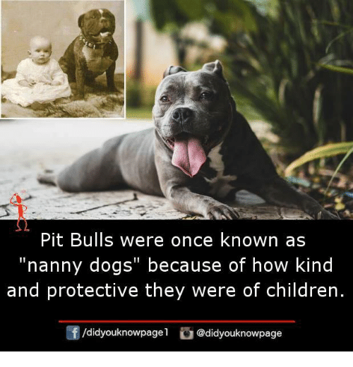 "pit bulls: Pit Bulls were once known as  ""nanny dogs"" because of how kind  and protective they were of children.  /didyouknowpagel  @didyouknowpage"