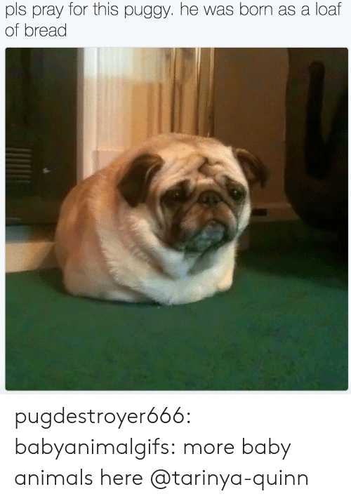 Animals, Tumblr, and Blog: pls pray for this puggy. he was born as a loaf  of bread pugdestroyer666:  babyanimalgifs:  more baby animals here  @tarinya-quinn
