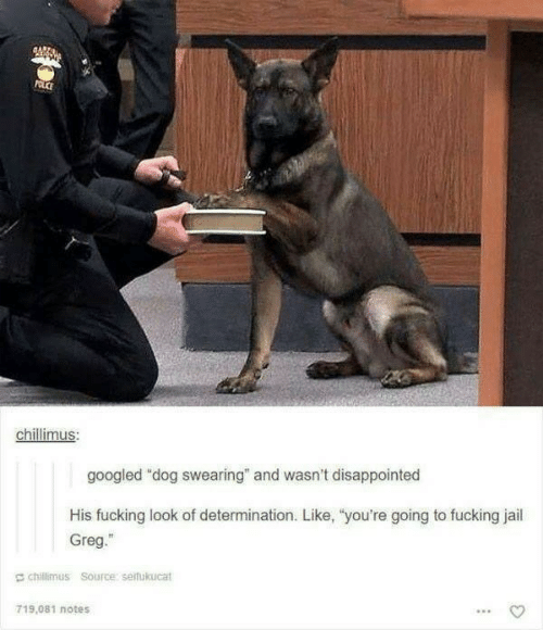 "greg: POLCE  chillimus:  googled ""dog swearing"" and wasn't disappointed  His fucking look of determination. Like, ""you're going to fucking jail  Greg.""  chillimus Source: seifukucat  719.081 notes"