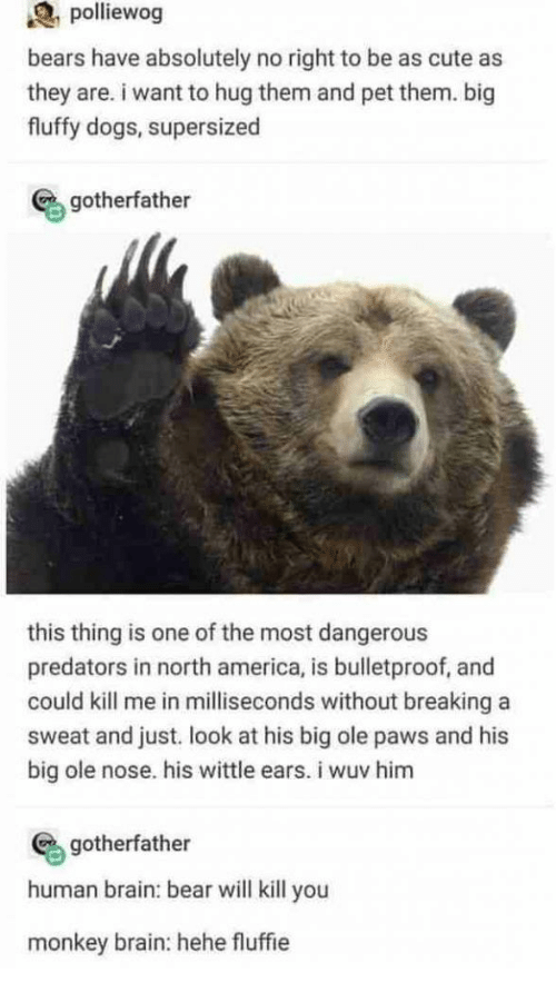 America, Cute, and Dogs: polliewog  bears have absolutely no right to be as cute as  they are. i want to hug them and pet them. big  fluffy dogs, supersized  gotherfather  this thing is one of the most dangerous  predators in north america, is bulletproof, and  could kill me in milliseconds without breaking a  sweat and just. look at his big ole paws and his  big ole nose. his wittle ears. i wuv him  gotherfather  human brain: bear will kill you  monkey brain: hehe fluffie