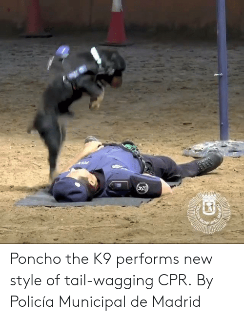 poncho: Poncho the K9 performs new style of tail-wagging CPR.  By Policía Municipal de Madrid
