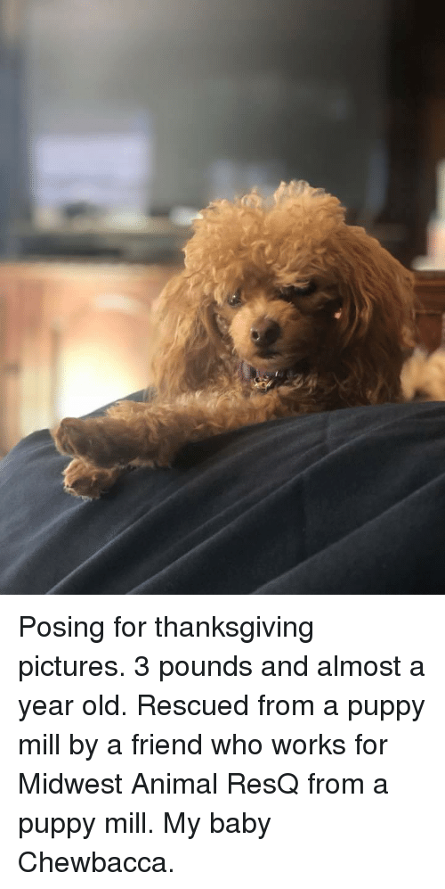 Chewbacca, Thanksgiving, and Animal