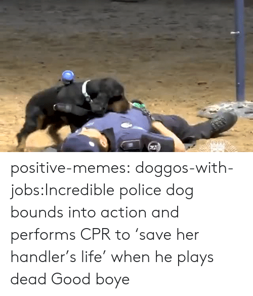 police dog: positive-memes:  doggos-with-jobs:Incredible police dog bounds into action and performs CPR to 'save her handler's life' when he plays dead Good boye