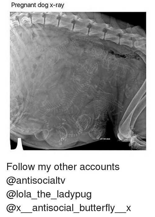 lolas: Pregnant dog x-ray  37.50- Follow my other accounts @antisocialtv @lola_the_ladypug @x__antisocial_butterfly__x