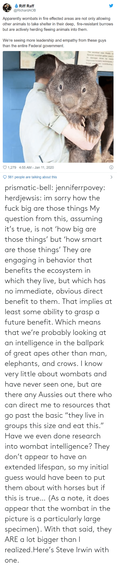 "Future: prismatic-bell:  jenniferrpovey: herdjewsis: im sorry how the fuck big are those things My question from this, assuming it's true, is not 'how big are those things' but 'how smart are those things' They are engaging in behavior that benefits the ecosystem in which they live, but which has no immediate, obvious direct benefit to them. That implies at least some ability to grasp a future benefit. Which means that we're probably looking at an intelligence in the ballpark of great apes other than man, elephants, and crows. I know very little about wombats and have never seen one, but are there any Aussies out there who can direct me to resources that go past the basic ""they live in groups this size and eat this."" Have we even done research into wombat intelligence? They don't appear to have an extended lifespan, so my initial guess would have been to put them about with horses but if this is true… (As a note, it does appear that the wombat in the picture is a particularly large specimen).  With that said, they ARE a lot bigger than I realized.Here's Steve Irwin with one."