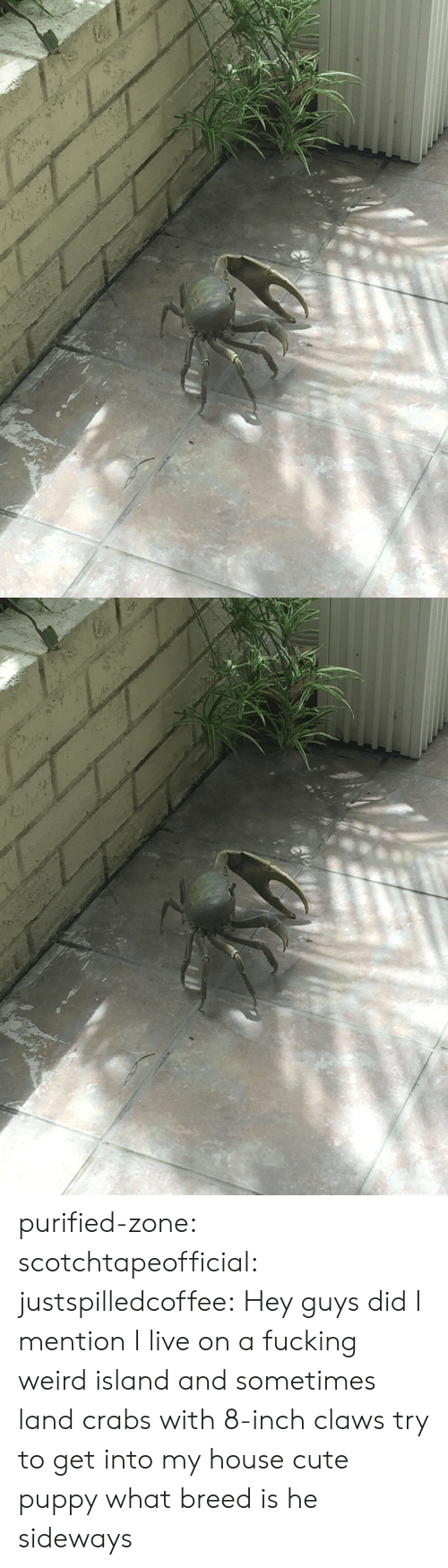fucking weird: purified-zone: scotchtapeofficial:  justspilledcoffee:  Hey guys did I mention I live on a fucking weird island and sometimes land crabs with 8-inch claws try to get into my house  cute puppy what breed is he  sideways