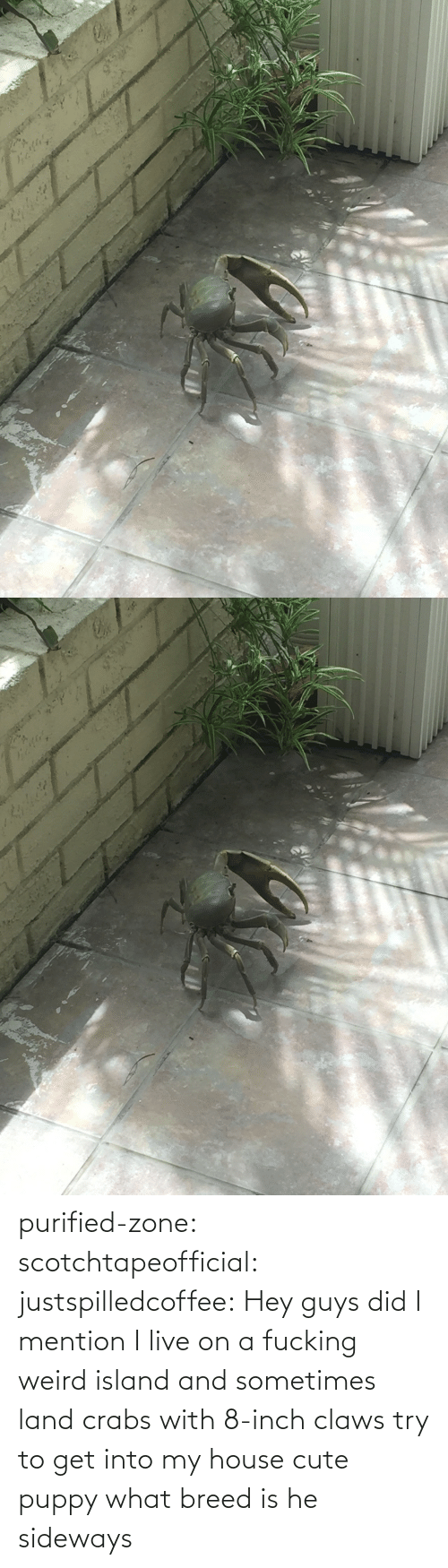 Puppy: purified-zone: scotchtapeofficial:  justspilledcoffee:  Hey guys did I mention I live on a fucking weird island and sometimes land crabs with 8-inch claws try to get into my house  cute puppy what breed is he  sideways