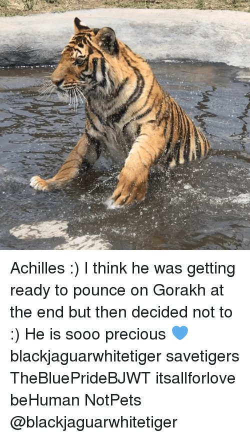Memes, Precious, and 🤖: r Achilles :) I think he was getting ready to pounce on Gorakh at the end but then decided not to :) He is sooo precious 💙 blackjaguarwhitetiger savetigers TheBluePrideBJWT itsallforlove beHuman NotPets @blackjaguarwhitetiger