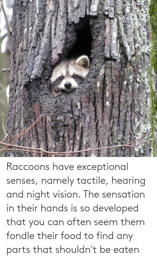 exceptional: Raccoons have exceptional senses, namely tactile, hearing and night vision. The sensation in their hands is so developed that you can often seem them fondle their food to find any parts that shouldn't be eaten