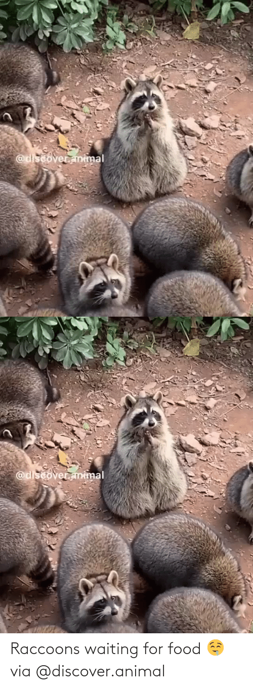 Discover: Raccoons waiting for food 🤤via @discover.animal