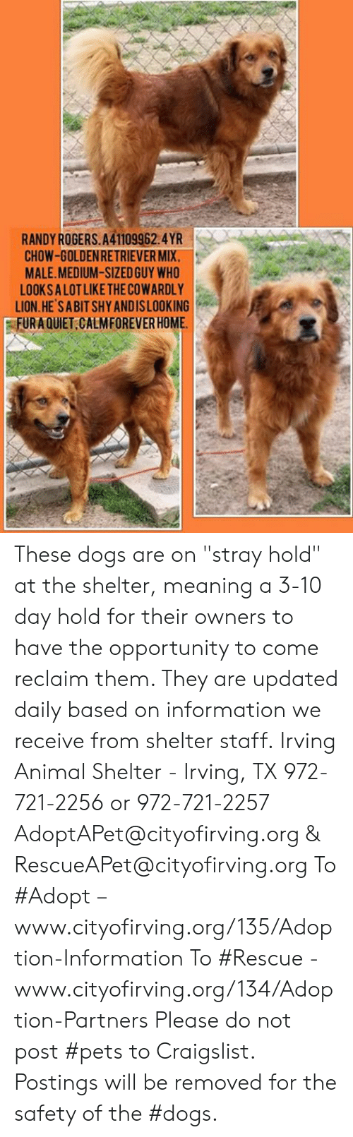 """Craigslist, Dogs, and Memes: RANDYROGERS.A41109962.4YR  CHOW-GOLDENRETRIEVER MIX.  MALE.MEDIUM-SIZED GUY WHO  LOOKSA LOT LIKE THE COWARDLY  LION.HE SABIT SHY ANDISLOOKING  FURAQUIET CALMFOREVER HOME These dogs are on """"stray hold"""" at the shelter, meaning a 3-10 day hold for their owners to have the opportunity to come reclaim them. They are updated daily based on information we receive from shelter staff.  Irving Animal Shelter - Irving, TX 972-721-2256 or 972-721-2257 AdoptAPet@cityofirving.org & RescueAPet@cityofirving.org  To #Adopt – www.cityofirving.org/135/Adoption-Information   To #Rescue - www.cityofirving.org/134/Adoption-Partners   Please do not post #pets to Craigslist. Postings will be removed for the safety of the #dogs."""