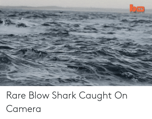 Shark, Camera, and Blow: Rare Blow Shark Caught On Camera