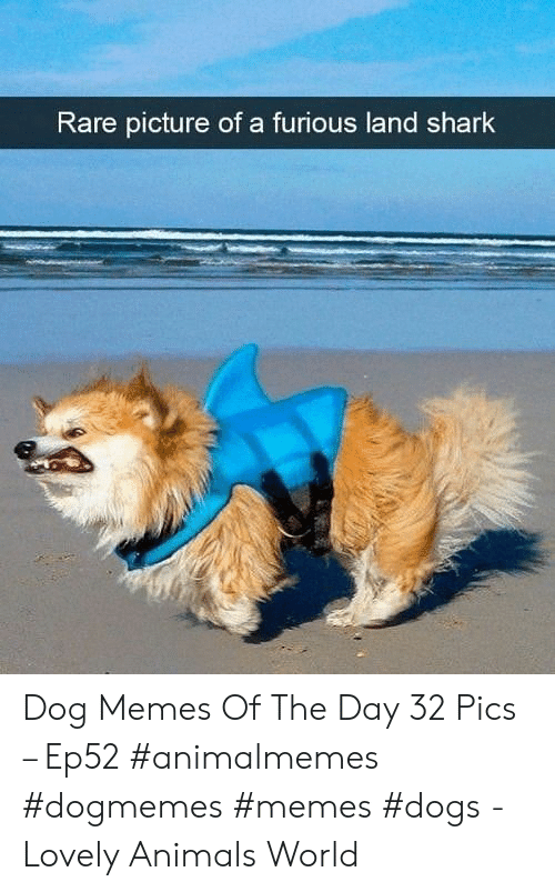 Memes Dogs: Rare picture of a furious land shark Dog Memes Of The Day 32 Pics – Ep52 #animalmemes #dogmemes #memes #dogs - Lovely Animals World