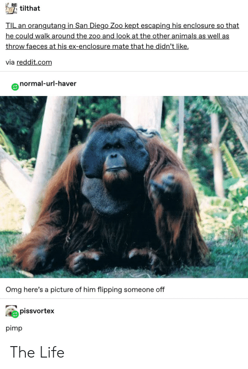Animals, Life, and Omg: RE  TILtilthat  orangutang in San Diego Zoo kept escaping his enclosure so that  TIL an  he could walk around the zoo and look at the other animals as well as  throw faeces at his ex-enclosure mate that he didn't like  via reddit.com  normal-url-haver  Omg here's a picture of him flipping someone off  pissvortex  pimp The Life