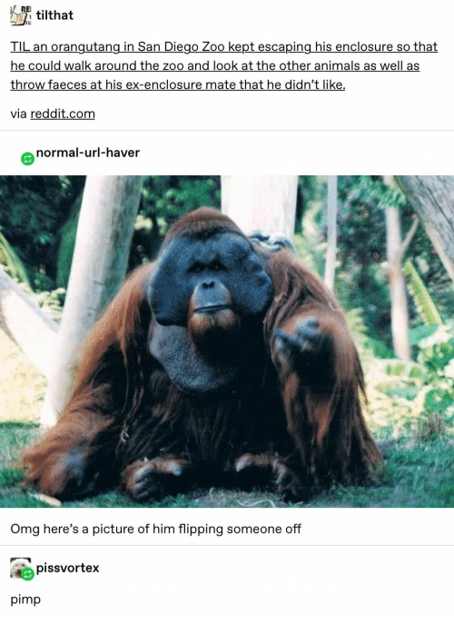 Animals, Omg, and Reddit: RE  TILtilthat  TIL an orangutang in San Diego Zoo kept escaping his enclosure so that  he could walk around the zoo and look at the other animals as well as  throw faeces at his ex-enclosure mate that he didn't like  via reddit.com  normal-url-haver  Omg here's a picture of him flipping someone off  pissvortex  pimp