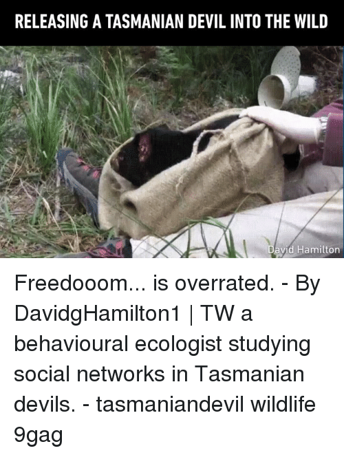 9gag, Memes, and Devil: RELEASING A TASMANIAN DEVIL INTO THE WILD  avid Hamilton Freedooom... is overrated. - By DavidgHamilton1 | TW a behavioural ecologist studying social networks in Tasmanian devils. - tasmaniandevil wildlife 9gag