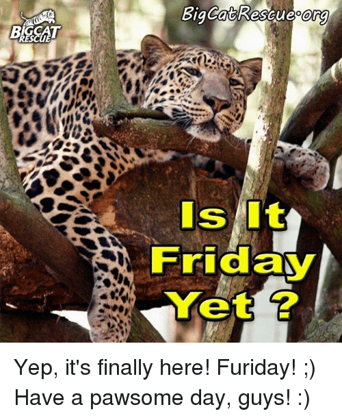 Rescue Big Cat Rescueoora Is Friday Yet Yep It S Finally Here