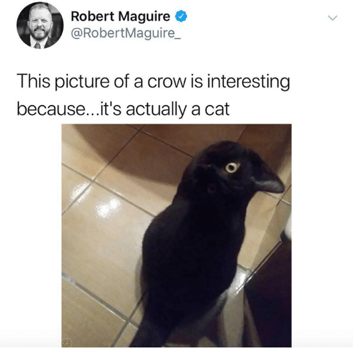 Maguire: Robert Maguire  @RobertMaguire_  This picture of a crow is interesting  because... it's actually a cat