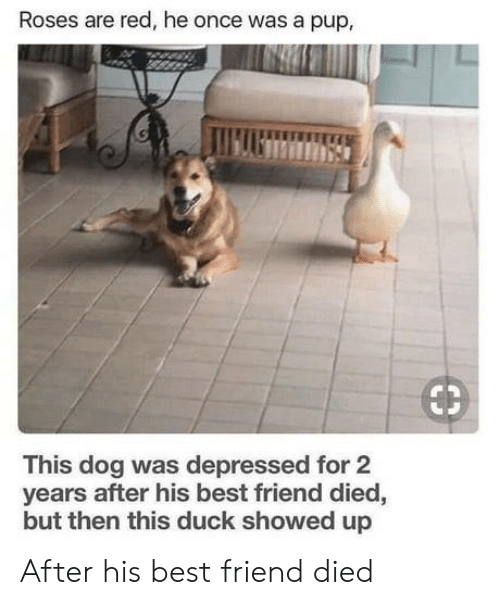 Best Friend, Best, and Duck: Roses are red, he once was a pup,  €3  This dog was depressed for 2  years after his best friend died,  but then this duck showed up After his best friend died