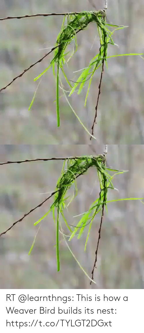 bird: RT @learnthngs: This is how a Weaver Bird builds its nest: https://t.co/TYLGT2DGxt