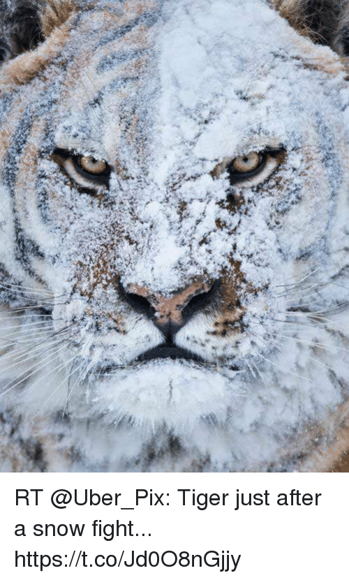 fightings: RT @Uber_Pix: Tiger just after a snow fight... https://t.co/Jd0O8nGjjy