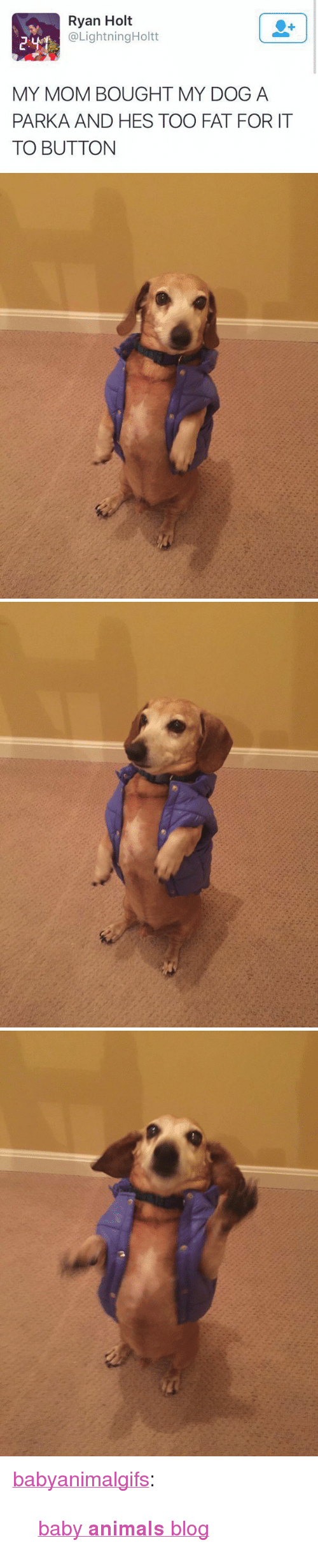 "Baby Animals: Ryan Holt  @LightningHoltt  MY MOM BOUGHT MY DOG A  PARKA AND HES TOO FAT FOR IT  TO BUTTON <p><a href=""http://babyanimalgifs.tumblr.com/post/147400369826/baby-animals-blog"" class=""tumblr_blog"" target=""_blank"">babyanimalgifs</a>:</p>  <blockquote><p><a href=""http://babyanimalgifs.tumblr.com/"" target=""_blank"">baby <b>animals</b> blog</a></p></blockquote>"