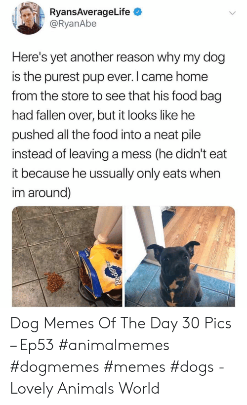 Animals, Dogs, and Food: RyansAverageLife  @RyanAbe  Here's yet another reason why my dog  is the purest pup ever. I came home  from the store to see that his food bag  had fallen over, but it looks like he  pushed all the food into a neat pile  instead of leaving a mess (he didn't  it because he ussually only eats when  im around)  Pedigre Dog Memes Of The Day 30 Pics – Ep53 #animalmemes #dogmemes #memes #dogs - Lovely Animals World