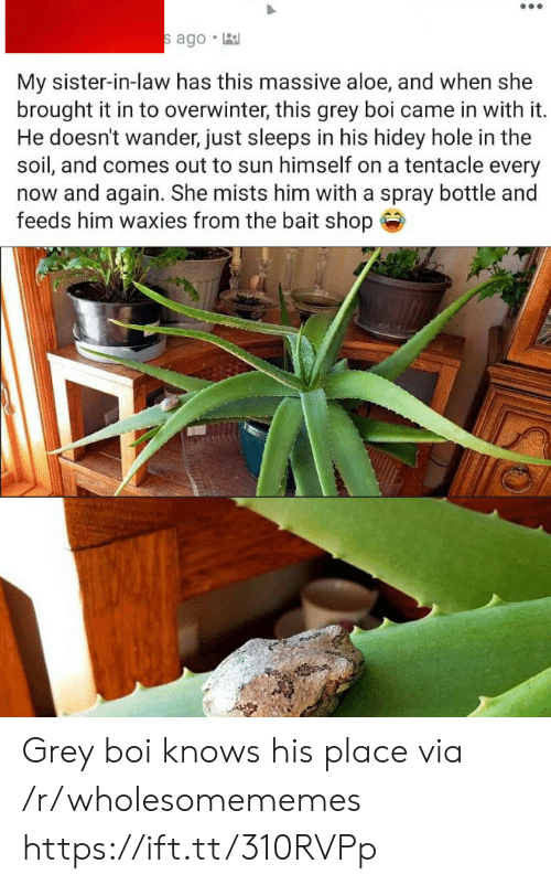 soil: s ago  My sister-in-law has this massive aloe, and when she  brought it in to overwinter, this grey boi came in with it.  He doesn't wander, just sleeps in his hidey hole in the  soil, and comes out to sun himself on a tentacle every  now and again. She mists him with a spray bottle and  feeds him waxies from the bait shop Grey boi knows his place via /r/wholesomememes https://ift.tt/310RVPp