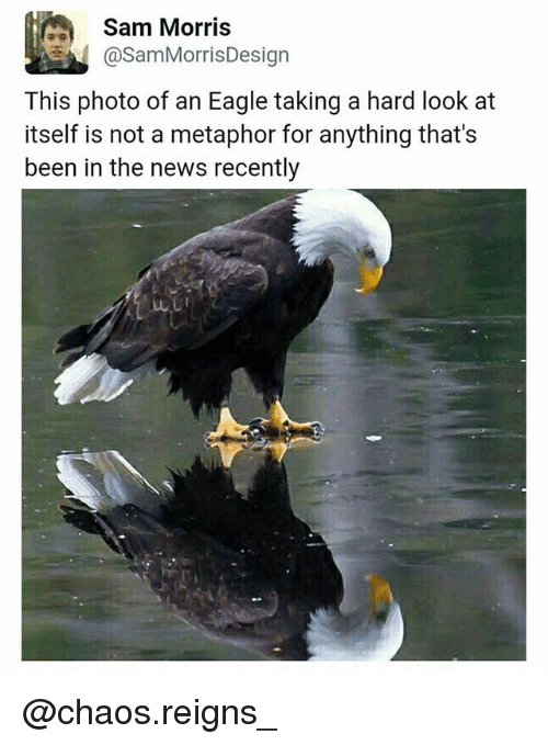 Memes, News, and Eagle: Sam Morris  asamMorrisDesign  This photo of an Eagle taking a hard look at  itself is not a metaphor for anything that's  been in the news recently @chaos.reigns_